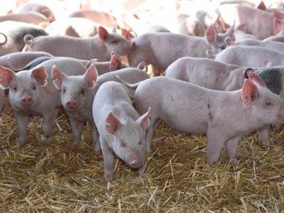 El sector porcino crece en consumo, exportación y producción 1