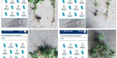 El esclarecimiento de un robo derivó en el hallazgo de plantas de marihuana 12
