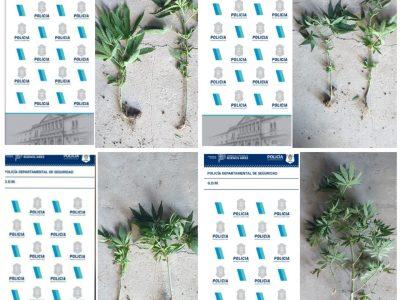 El esclarecimiento de un robo derivó en el hallazgo de plantas de marihuana 2